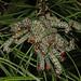 Red-headed Pine Sawfly - Neodiprion lecontei, Meadowood SRMA, Mason Neck, Virginia