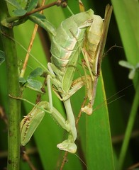 Mantid Honeymoon! (Ruby 2417) Tags: mantid mantis insect wildlife nature pair mating honeymoon reed reeds pond northstar davis