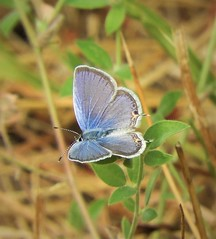 Is this an Eastern Tailed-Blue? In DAVIS? (Ruby 2417) Tags: tailedblue blue butterfly insect wildlife nature north davis northstar life lifer mystery question identify identification