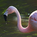 Chilean Flamingo (Phoenicopterus chilensis) - Paignton Zoo, Devon - Sept 2019