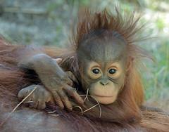 Orangutan Minggu Ouwehand 094A1114 (j.a.kok) Tags: animal aap asia ape azie mammal monkey mensaap ouwehands orangutan orangoetan ouwehandsdierenpark orang zoogdier dier primate primaat tjintha minggu