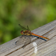 Resting on the footbridge: common darter (Dave_A_2007) Tags: sympetrumstriolatum commondarter dragonfly insect nature wildlife wolverhampton westmidlandscombinedauthority england