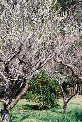 (Kkeina) Tags: film analog manual 35mm 50mm olympus om1 japan nara spring nature trees