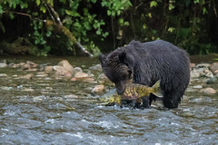 Grizzly Bear with a salmon (Tim Melling) Tags: ursusarctos horribilis chum salmon oncorhynchus keta british columbia canada timmelling