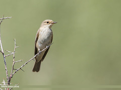Spotted Flycatcher (Muscicapa striata) (gilgit2) Tags: avifauna birds borit canon canoneos7dmarkii category fauna feathers geotagged gilgitbaltistan gojal imranshah location nature ornithology pakistan species spottedflycatchermuscicapastriata tags tamron tamronsp150600mmf563divcusd wildlife wings gilgit2 muscicapastriata