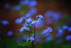 Forget me not (Maureen Pierre) Tags: christchurchbotanicgardens flowers spring garden colour macro fujifilm xt2 forgetmenot