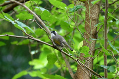 L1360145 Light-vented Bulbul (Rise Liao) Tags: 鳥 樹木 樹林