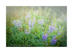 In the Fog of the Morning (My digital Gallery) Tags: fog meadow morning morgennebel wiese flowers blumen blue green blau grün vienna botanicalgarden botanischergarten wien austria eu europe