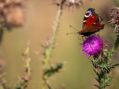 Not a lepidoptera kinda gal (EmCee...) Tags: peacockbutterfly thistle wildlife peakdistrict