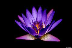 Waterlily (Ken Mickel) Tags: beautiful fineart flower flowers gardenofeden hawaii kenmickelphotography maui panamapacificwaterlily plants roadtohana waterlily unitedstatesofamerica
