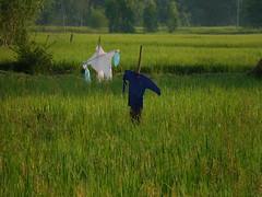 Scarecrows หุ่นไล่กา 4 (SierraSunrise) Tags: thailand phonphisai nongkhai isaan esarn farming agriculture rice ricepaddy paddyrice ricepaddies scarecrow
