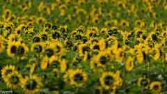 22092019-DSC_0038 (vidjanma) Tags: champ fleurs tournesols