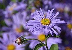 Monday Blues (Eleanor (New account))) Tags: flower bud daisies blueflowers busheyrosegarden bushey england uk nikond7100 september2019