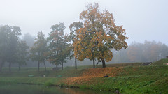 Maple. Karpin pond. Leaf fall (anytime-anywhere) Tags: autumn september gatchina park 2015 morning fog maple karpin pond