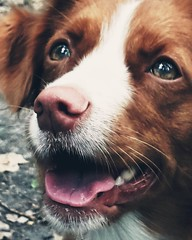 Met for a walk (kuratormkl) Tags: portrait dog redhaired friend beautiful rest animals acquaintance walk curiosity eyes reflection mood beautifulphotos forest love smile kind affectionate nationaalgeographic autumn