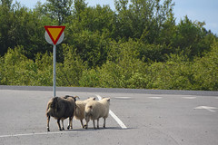PRECEDENZA (ADRIANO ART FOR PASSION) Tags: islanda iceland islande pecore sheeps strada road precedenza giveway gruppo gruppodipecore pecoreinstrada pecoraislandese icelandsheep nikon nikond7200 200mm 18300