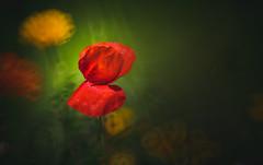 Poppy (Dhina A) Tags: sony a7rii ilce7rm2 a7r2 a7r minolta rf rokkorx 250mm f56 mirror reflex minolta250mmf56 md prime rokkor bokeh manualfocus poppy flower