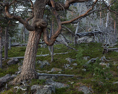 Stora Sjöfallet Nationalpark V (Gustaf_E) Tags: forest kväll landscape landskap laponia lappland nationalpark norrland pine pines skog sommar storasjöfallet storasjöfalletnationalpark sverige sweden tall urskog woods