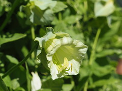weiß? gelb? oder doch grün? (1elf12) Tags: buga heilbronn 2019 bundesgartenschau germany deutschland flower blume blossom blüte