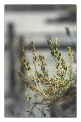 climat gris chaud (In Explore) (Pyc Assaut) Tags: climat gris chaud climatgrischaud nikon nikond7100 borddulac végétation automne autumn pyc5pycphotography pycassaut pierreyvescugni pierreyvescugniphotography extérieur saison brume douceur sweet calme plante mur nature naturel natural ambiance atmosphère milieu air temps décor influence