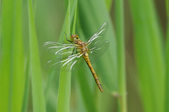 K32P6700c (teneral) Ruddy darter, Woodwalton Fen, July 2019 (bobchappell55) Tags: cambridgeshire sympetrumsanguineum woodwaltonfen dragonfly insect nature ruddydarter wild wildlife