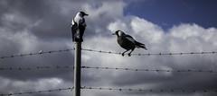 Balancing magpies, Hobart, Tasmania-2 (Tasmanian.Kris) Tags: tasmania australia hobart winter birds bird