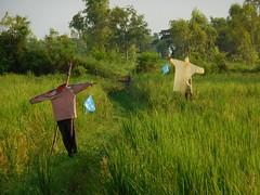 Scarecrows หุ่นไล่กา 3 (SierraSunrise) Tags: thailand phonphisai nongkhai isaan esarn farming agriculture rice ricepaddy paddyrice ricepaddies scarecrow