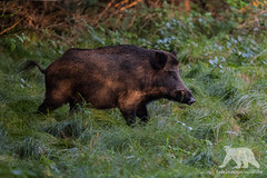 Wild Boar (fascinationwildlife) Tags: animal mammal wild wildlife wildlifephotography wildtiere tiere wildschwein boar male meadow dawn morning nature natur naturephotography naturfotografie park forest forstenrieder munich münchen deutschland germany bayern bavaria nikon nikonphotography