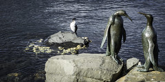 Shag on a rock, Hobart, Tasmania-1 (Tasmanian.Kris) Tags: tasmania australia hobart winter birds bird