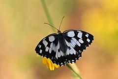 Marbled white Butterfly (Melanargia Galathea) (natureloving) Tags: melanargiagalathea marbledwhitebutterfly papillon nature macro insect bokeh natureloving nikon d90 afsvrmicronikkor105mmf28gifed