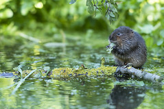 Water Vole (Benjamin Joseph Andrew) Tags: one lone single individual rodent mammal aquatic freshwater pond pool autumn waterbody eating food