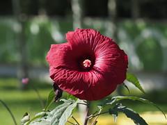 Hibiskus (1elf12) Tags: malve hibiskus flower blume blossom blüte buga 2019 heilbronn bundesgartenschau germany deutschland