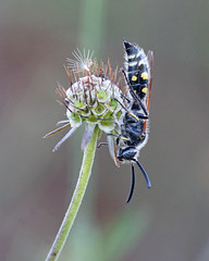 Colpa sexmaculata (Darea62) Tags: colpasexmaculata wasp insect nature scabiosa wildlife animal wildflower scoliidae scolia
