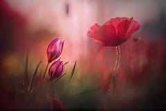 Fioritura (Va e VIENI) Tags: art ambrosioni zzmanipulation fiori natura campagna primavera rosso