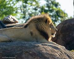Royal Profile (Harry Rother) Tags: animal mammal lion african kopje rock kilimanjaro safari disney bigcat abigfave