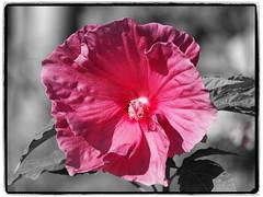 Think Pink! (1elf12) Tags: buga heilbronn 2019 bundesgartenschau germany deutschland flower blume blossom blüte malve