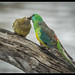 Red-rumped Parrot: Feeding Junior