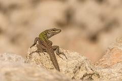 Italian Wall Lizard (Philip McErlean) Tags: italian wall lizard podarcis sicula menorca reptile lucertola eidechse lagartija lézard jaszczurka żyworodna sargantana