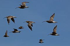 Brachvögel im Flug mit  Goldregenpfeifer, (Rollfuss46) Tags: natur wildlife vögel nordsee flugbild brachvögel goldregenpfeifer