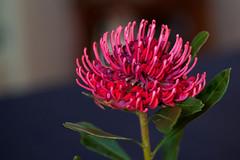 IMG_9701 copy_f (Callags) Tags: waratah australian native flower red