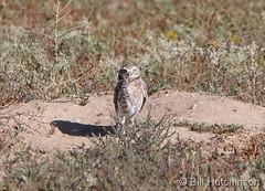 September 22, 2019 - A burrowing owl keeps watch in Adams County. (Bill Hutchinson)