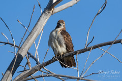 September 22, 2019 - A red tailed hawk having a hard time waking up. (Tony's Takes)