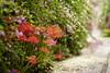 勝念寺で萩と彼岸花のコラボ
