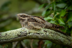 Nightjar (Thomas Winstone) Tags: nightjar canonuk canon 300mm28mk2 birds aves uk bird outdoors wildlife nature wildbirds countryside outdoor forest woodland woods gitzo thomaswinstonephotography bbc springwatch bbcspringwatch nationalgeographic