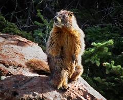Marmot at St Kevin Lake - Colorado Trail (Bruce Lemons) Tags: colorado co hike hiking backpacking mountains landscape trail coloradotrail ct wilderness lake stkevinlake marmot wildlife animal