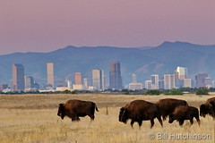 September 21, 2019 - Bison walk in front of the Mile High City. (Bill Hutchinson)