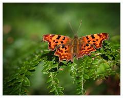Comma Butterfly (dandraw) Tags: butterfly commabutterfly comma wildlife nature fern bracken depthoffield bokeh fuji fujifilm xt3 fujinon55200mm woods woodland insect