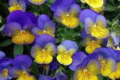Violet (majka44) Tags: macro macroworld colors 2019 yellow blue green light nature violet