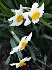 Lombard, IL, Lilacia Park, Remembering Spring, Jonquil Quartet (Mary Warren 14.2+ Million Views) Tags: lombardil lilaciapark garden park spring nature flora plant bloom blossom flower white jonquil