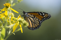 Butterfly 2019-137 (michaelramsdell1967) Tags: butterfly butterflies macro nature monarch monarchs animal animals insect insects beauty beautiful pretty lovely vivid vibrant detail delicate upclose closeup flowers pollen bokeh green orange black wildlife meadow wings zen